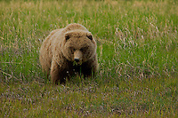 The first siting of a spring bear in a full coat of new fur, Lake Clark National Park, Alaska.