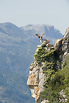 Griffon Vulture landing on rock face