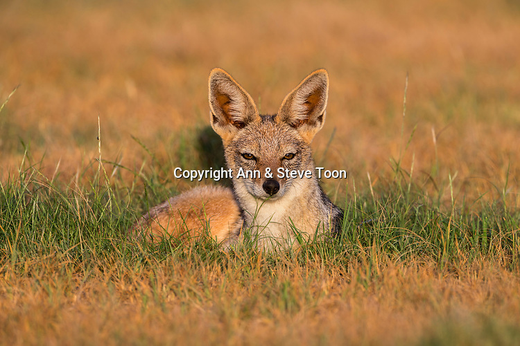 Blackbacked jackal (Canis mesomelas), Kgalagadi transfrontier park, Northern Cape, South Africa, February 2017