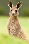 Eastern Grey Kangaroo (Macropus giganteus) juvenile, Jervis Bay, New South Wales, Australia
