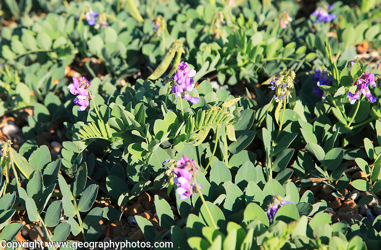 Sea Pea plant, Lathyrus japonicus, growing on beach at Shingle Street, Suffolk, England, UK