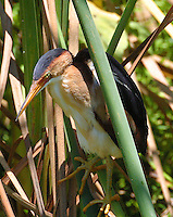 Least bittern adult male in reeds