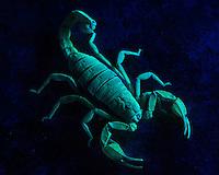 A Northern Scorpion glows under a black light.