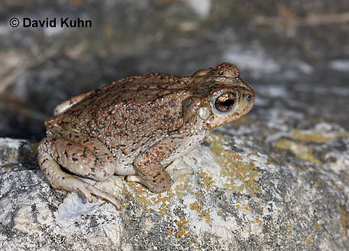 1101-0803  Adult Red-spotted Toad (Southwestern United States), Anaxyrus punctatus, formerly  Bufo punctatus  © David Kuhn/Dwight Kuhn Photography.