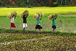 4 women carry bundles of freshly harvested rice in the central highlands of Madagascar.