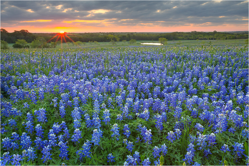 Hunting for bluebonnet pictures in the spring of 2013 turned out to be a pretty difficult task. The opportunities for Texas wildflower images were few and far between. However, I was able to spend some time on the backroads near Ennis, Texas, and found a few really nice areas. This image was from Union Hill Road along the Ennis bluebonnet trail. I visited this site several mornings and captured a few images of bluebonnets just as the sun burst over the horizon.