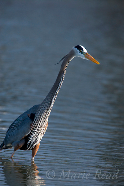 Great Blue Heron (Ardea herodias) foraging, backlit, Florida, USA