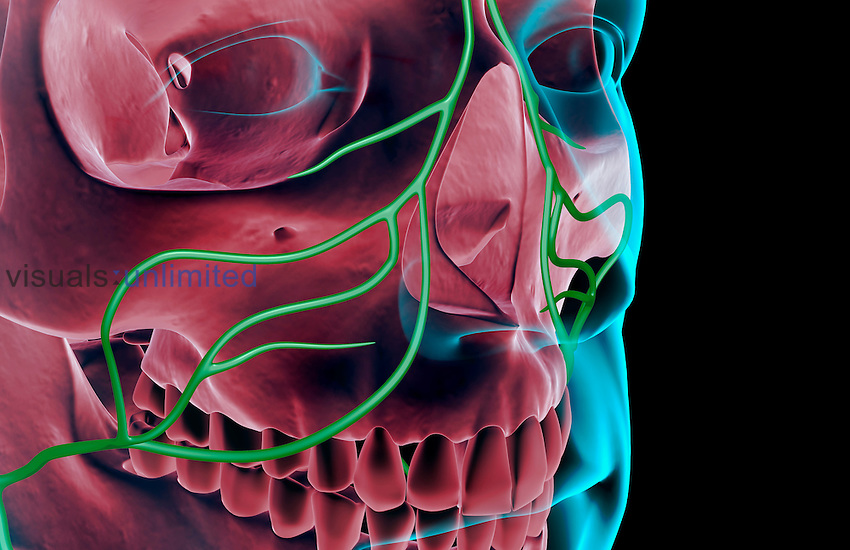 An anterolateral view (right side) of the lymph supply of the face. The surface anatomy of the body is semi-transparent and tinted blue. Royalty Free