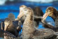 Southern Giant Petrel flock on Heard Island