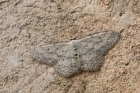 Grauer Zwergspanner, Graubestäubter Kleinspanner, Idaea seriata, small dusty wave, Spanner, Geometridae, looper, loopers, geometer moths, geometer moth