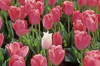 Tulp (Tulipa spec.)