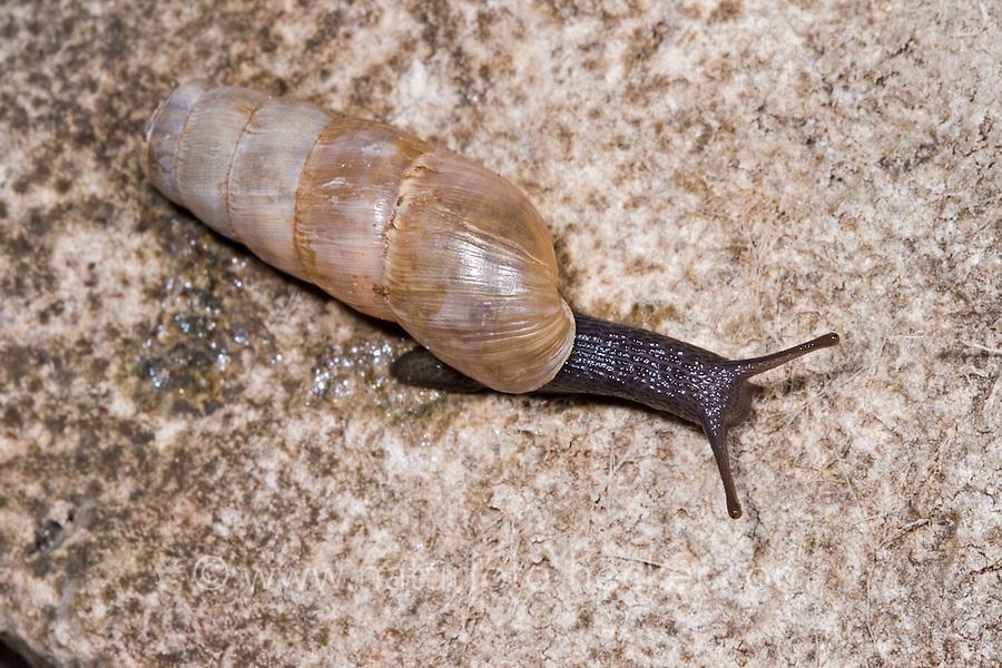 Stumpfschnecke, Stumpf-Schnecke, Rumina decollata, decollate snail