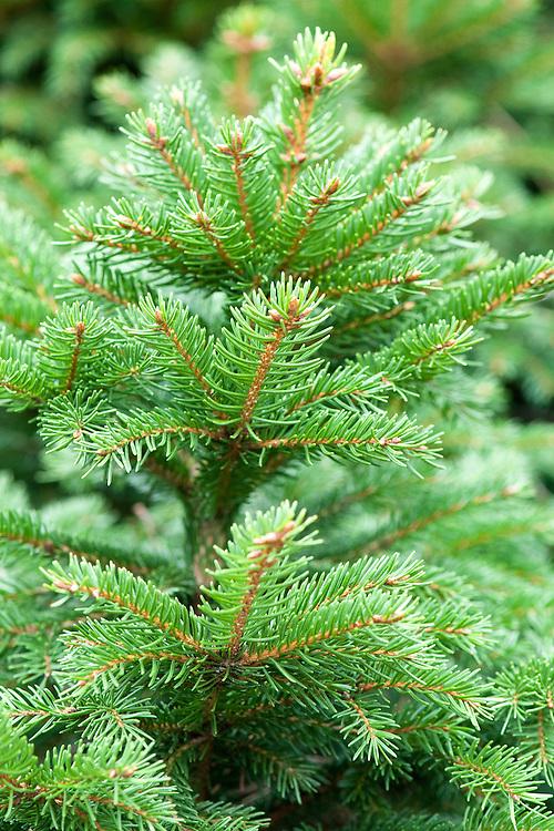 Norway spruce (Picea abies 'Efusa').