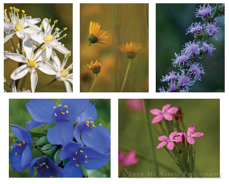 "Boxed set of 10 Prairie Wildflower note cards (folded, blank inside), 2 of each of the pictured images, and 10 blank, white envelopes. To purchase, click on image until a ""Buy Prints"" button appears above the image."