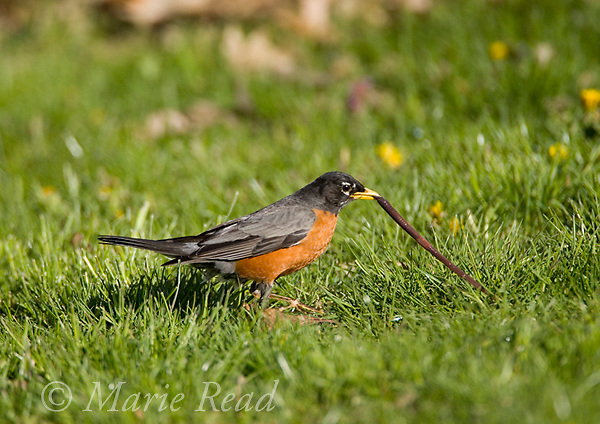 American Robin (Turdus migratorius) male capturing a worm on a lawn, New York, USA