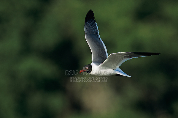 Laughing Gull, Larus atricilla, adult in flight, The Inn at Chachalaca Bend, Cameron County, Rio Grande Valley, Texas, USA