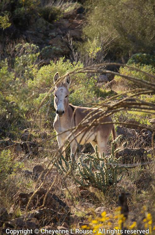 Blonde Burro - Arizona - Wild Burro