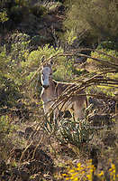 Blonde Burro - Arizona - Wild Burro