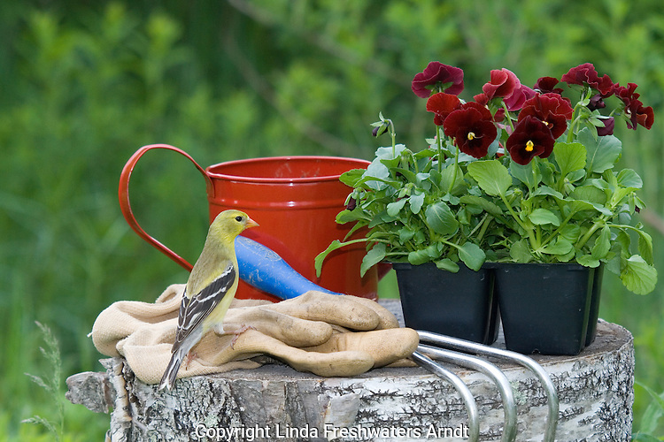 Female American goldfinch (Carduelis tristis) standing on gardening gloves