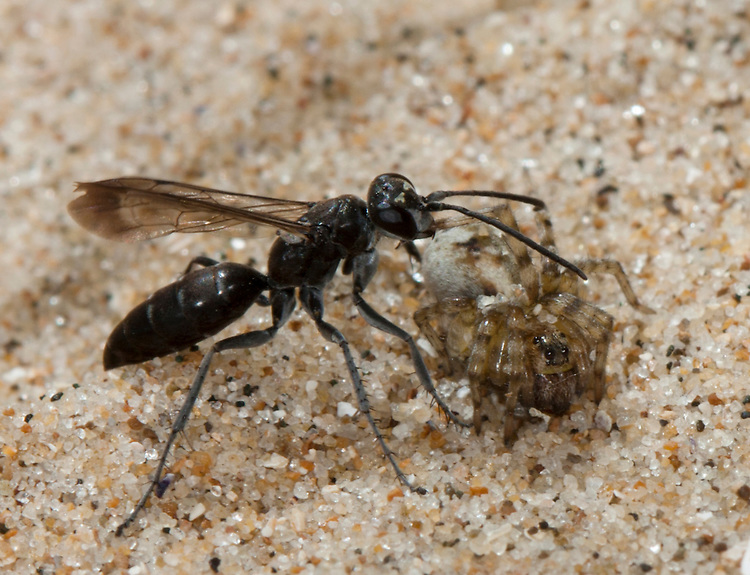 Pompilus cinereus attacking Arctosa perita. A spider hunting wasp paralyses a Sand Dune Bear-Spider spider on sand dunes.