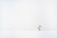 Lone tree in a snow storm near Jackson, Wyoming