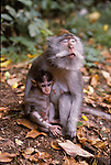 macaque female and young in Bali