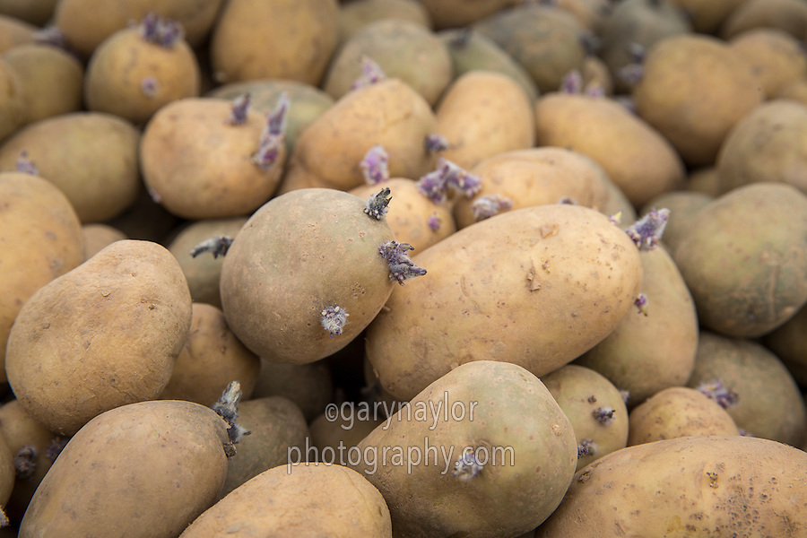 Ramos seed potatoes - Lincolnshire, April