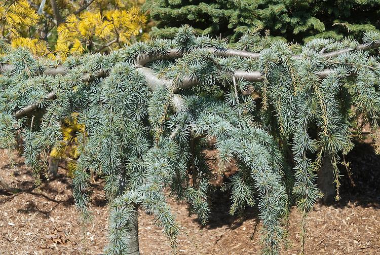 Cedrus atlantica 'Glauca Pendula' Serpentine Weeping Blue Atlas Cedar