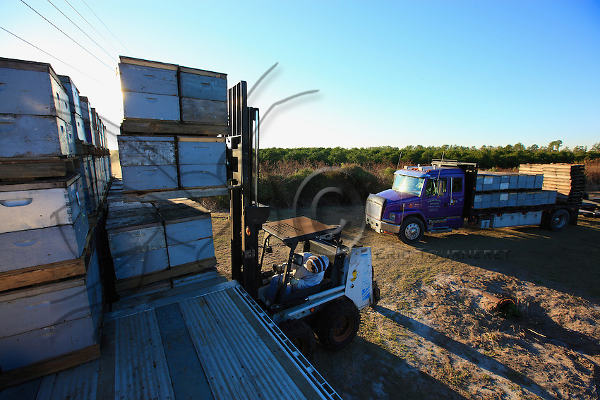 At nightfall, the hives are put in the truck with a forklift. Modern apiculture is palletized; it can manage considerable stock, numerous migrations...