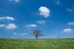 Europa, DEU, Deutschland, Rheinland-Pfalz, Eifel, Vulkaneifel, Reuth, Fruehling, Landschaft, Blauer Himmel, Wolken, Baum, Eiche, Eichenbaum, Kategorien und Themen, Natur, Umwelt, Landschaft, Jahreszeiten, Stimmungen, Landschaftsfotografie, Landschaften, Landschaftsphoto, Landschaftsphotographie, Wetter, Himmel, Wolken, Wolkenkunde, Wetterbeobachtung, Wetterelemente, Wetterlage, Wetterkunde, Witterung, Witterungsbedingungen, Wettererscheinungen, Meteorologie, Bauernregeln, Wettervorhersage, Wolkenfotografie, Wetterphaenomene, Wolkenklassifikation, Wolkenbilder, Wolkenfoto<br /> <br /> [Fuer die Nutzung gelten die jeweils gueltigen Allgemeinen Liefer-und Geschaeftsbedingungen. Nutzung nur gegen Verwendungsmeldung und Nachweis. Download der AGB unter http://www.image-box.com oder werden auf Anfrage zugesendet. Freigabe ist vorher erforderlich. Jede Nutzung des Fotos ist honorarpflichtig gemaess derzeit gueltiger MFM Liste - Kontakt, Uwe Schmid-Fotografie, Duisburg, Tel. (+49).2065.677997, archiv@image-box.com, www.image-box.com]