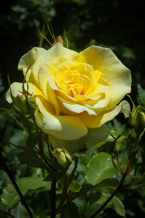 Rosa 'Abbeyfield Gold', late June. A bright gold floribunda rose launched in 2006 to celebrate the Golden Anniversary of the Abbeyfield Society. The edges of the petals age to warm pink.