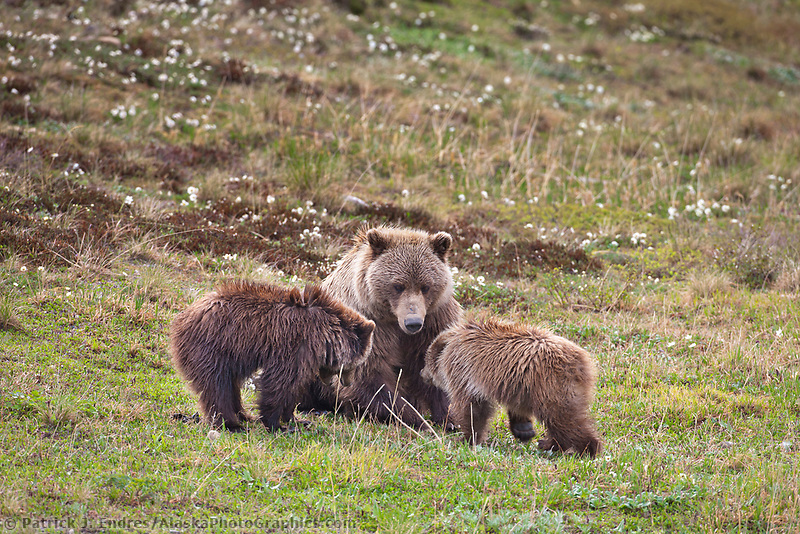 Sow grizzly bear and cubs of the year, Denali National Park, Alaska.