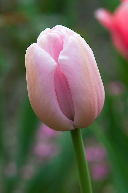 Tulip 'Pink Diamond' (Single Late Group), late April.