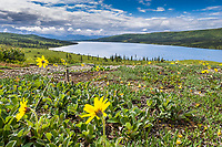 Lessings Arnica wildflowers bloom in the tundra near Wonder Lake, Denali National Park, Alaska