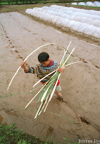 Wei builds greenhouse for his corn crop at his home in Sichuan...Picture taken April 1999.Copyright Justin Jin