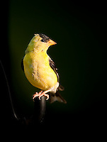 Bright Male American Goldfinch perched on a dark metal pipe against a dark background