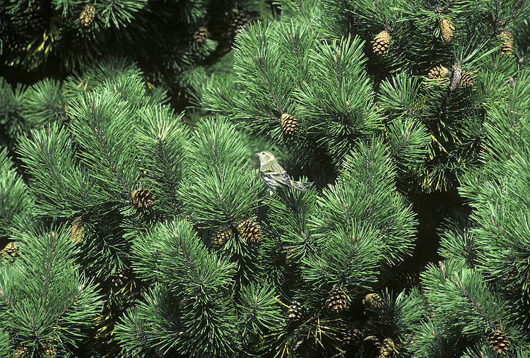 Mountain Pine Pinus mugo (Pinaceae) HEIGHT to 30m <br /> Two forms: tree-sized ssp. uncinata and shrub-like ssp. mugo. BARK Greyish-black in all trees. LEAVES Bright-green needles in all trees, to 8cm long, curved and stiff, appearing whorled. REPRODUCTIVE PARTS All trees have male flowers in clusters near shoot tips; female flowers reddish, in groups of 1–3. Ripe cones ovoid, pale brown, to 5cm long; scales have a small prickle. STATUS AND DISTRIBUTION Native of Alps, Pyrenees and Balkans; dwarf forms occur at high altitudes.