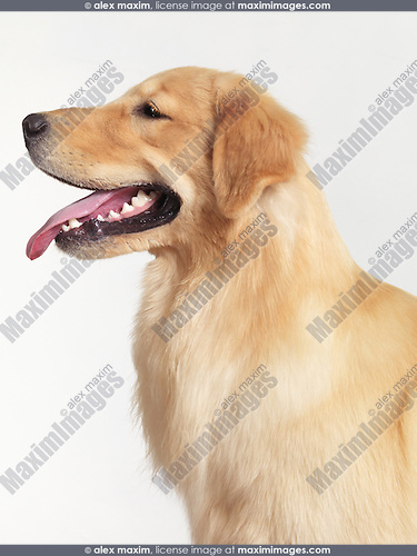 Golden Retriever four month old puppy profile portrait isolated on white background