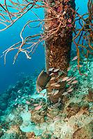 French angelfish, Pomacanthus paru, and Brown chromis, Chromis multilineata, Salt Pier Dive site, Bonaire, Caribbean Netherlands, Caribbean