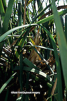 00699-00209 (TF) Least Bittern (Ixobrychus exilis) on nest  Mermet Lake State Fish & Wildlife Area  IL