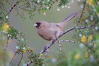 Abert's Towhee (Melozone aberti vorhiesi) in Papago Park in Phoenix, Arizona.