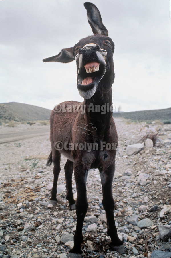 Flop-ear jackass yawns in the Panamint Mts. of Calif.