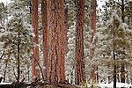 Snowy Ponderosa Pines in Hannagan Meadow, Apache-Sitgreaves National Forest, AZ, USA
