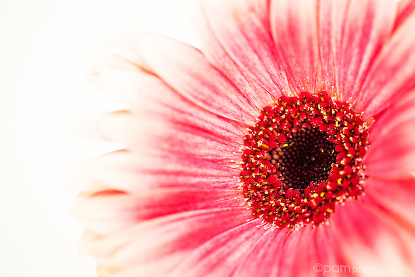 High key close up of pink and white Gerber Daisy