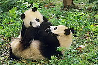 Younger Giant Pandas (Ailuropoda melanoleuca) wrestling (play) in bamboo forest of central China.