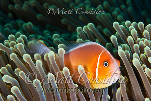 A Pink Anemonefish, immune to the stinging tentacles of the sea anemone, takes refuge from predators. (Photo by Matt Considine - Images of Asia Collection) (Matt Considine)
