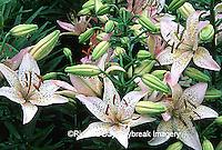 """63821-069.15 Asiatic Lily (Lilium sp. """"Pixie Lily"""")  Marion Co.  IL"""