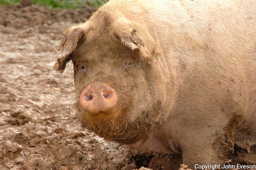 A sow grazing Typhon stubble turnips..Pigs.Pigs
