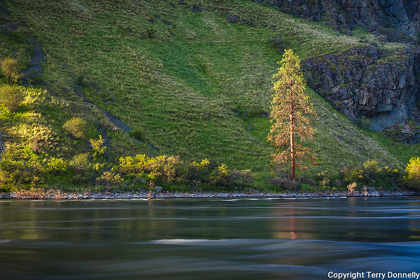 Hells Canyon NRA, Oregon/Idaho:<br /> A lone p ine stands on the bank of the Snake river near Salt creek