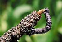 caterpillar camouflaged on tree twig.